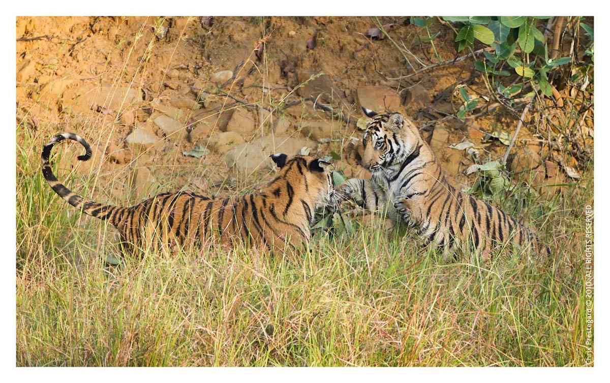 Tigers6253F_Dec4-2010
