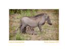 Warthogs4072-Sept27-2011