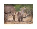Waterbuck3660Curious_Aug28-2010