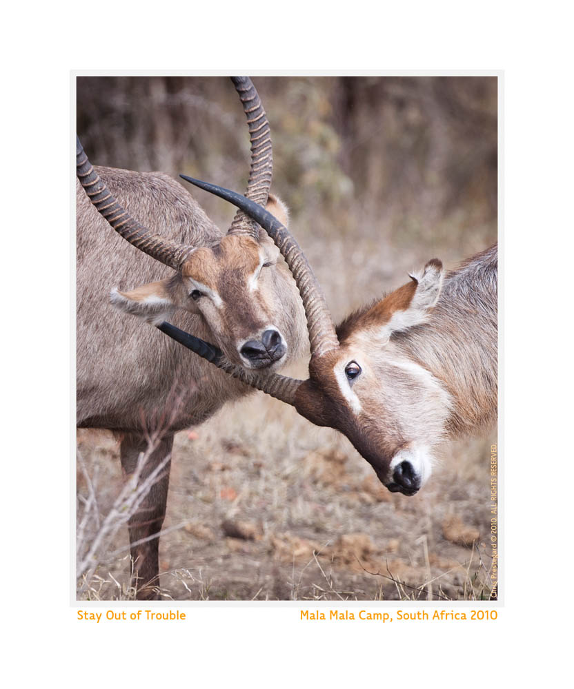 Waterbuck5448Trouble_Aug28-2010