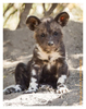 Wild Dog Puppy, Mala Mala, South Africa July 2012