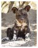 Wild Dog Puppy, Mala Mala, South Africa July 2012