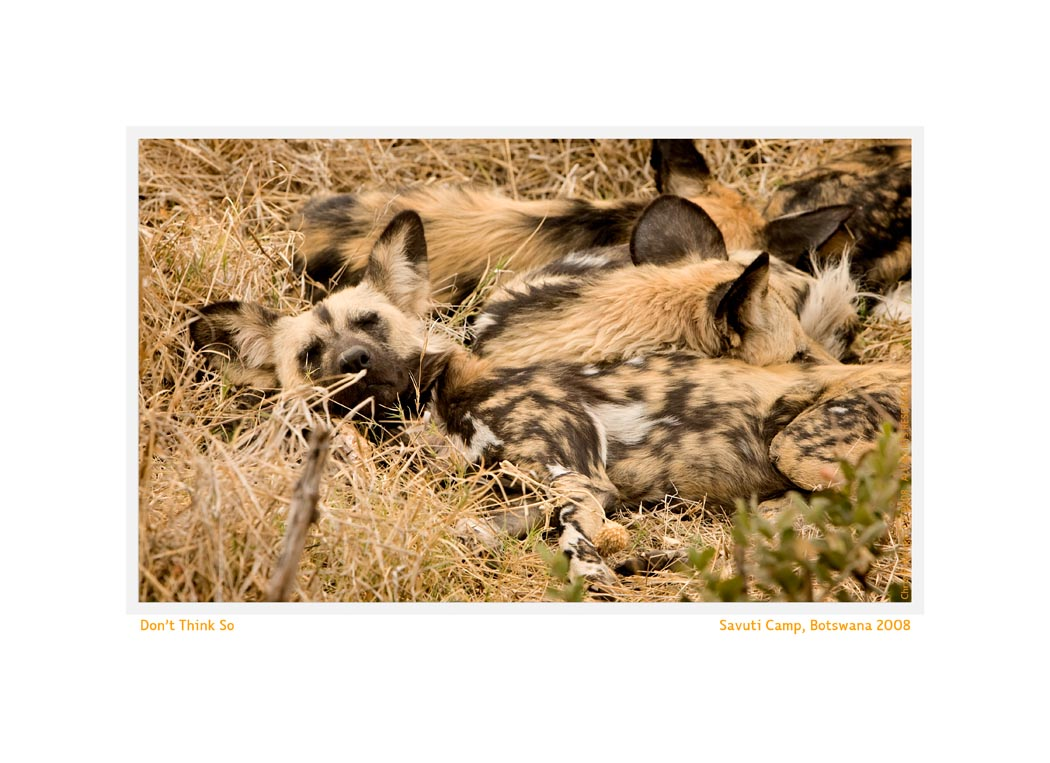 WilddogSavuti2584c2_Aug22-08