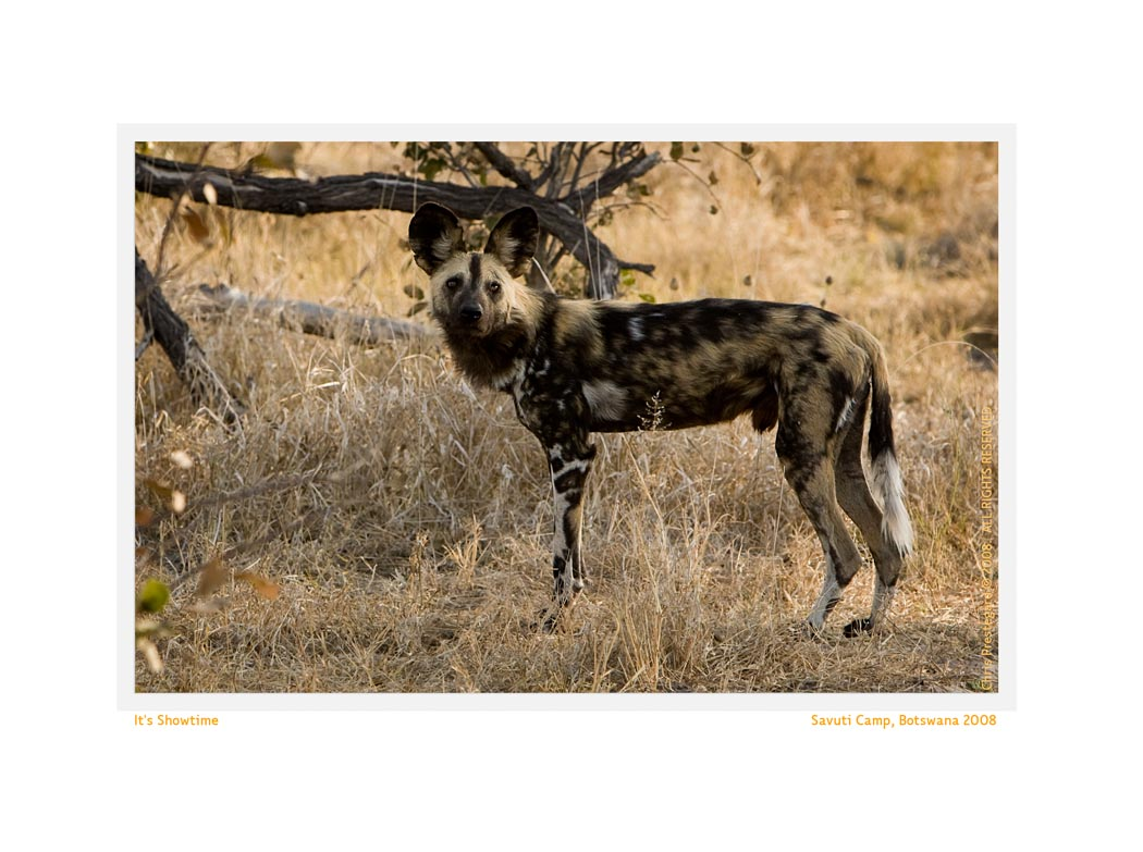 WilddogSavuti2950c1_Aug22-08