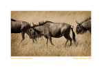 Wildebeest7723_Sept27-2011