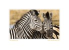Zebra4188MIntro_Feb15-09