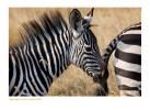 Zebra5109_9-15-07