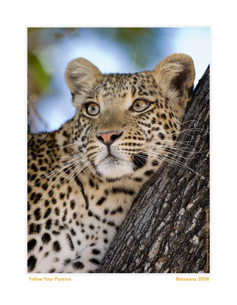 _Leopard1005-Oct5-2013