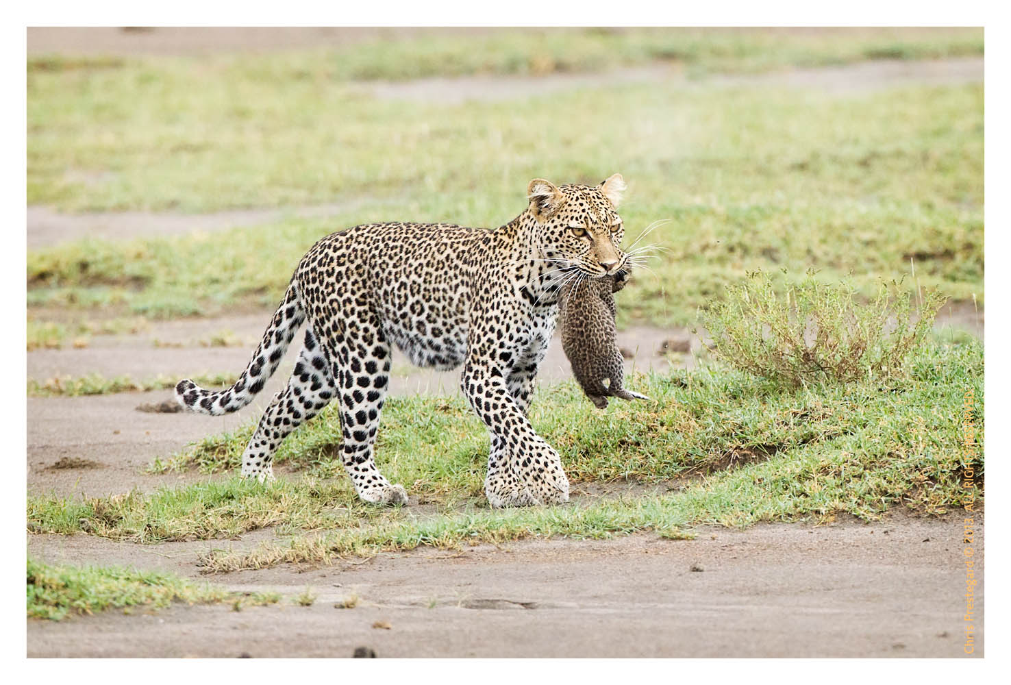 __LeopardCub7046_Oct3-2013