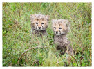cheetah1022-Apr10-2014