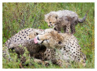 cheetah1113-Apr7-2014
