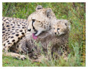 cheetah1153-Apr7-2014