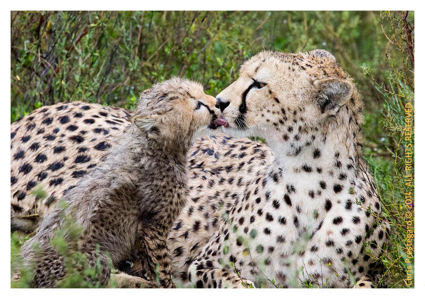cheetah1195-pr9-2014