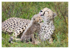 cheetah1296-Apr6-2014