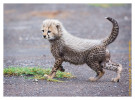 cheetah167-Apr4_2014