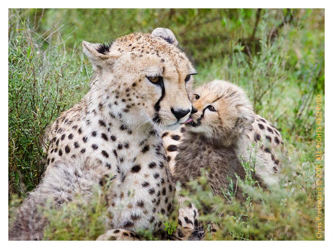 cheetah1720-Apr7-2014