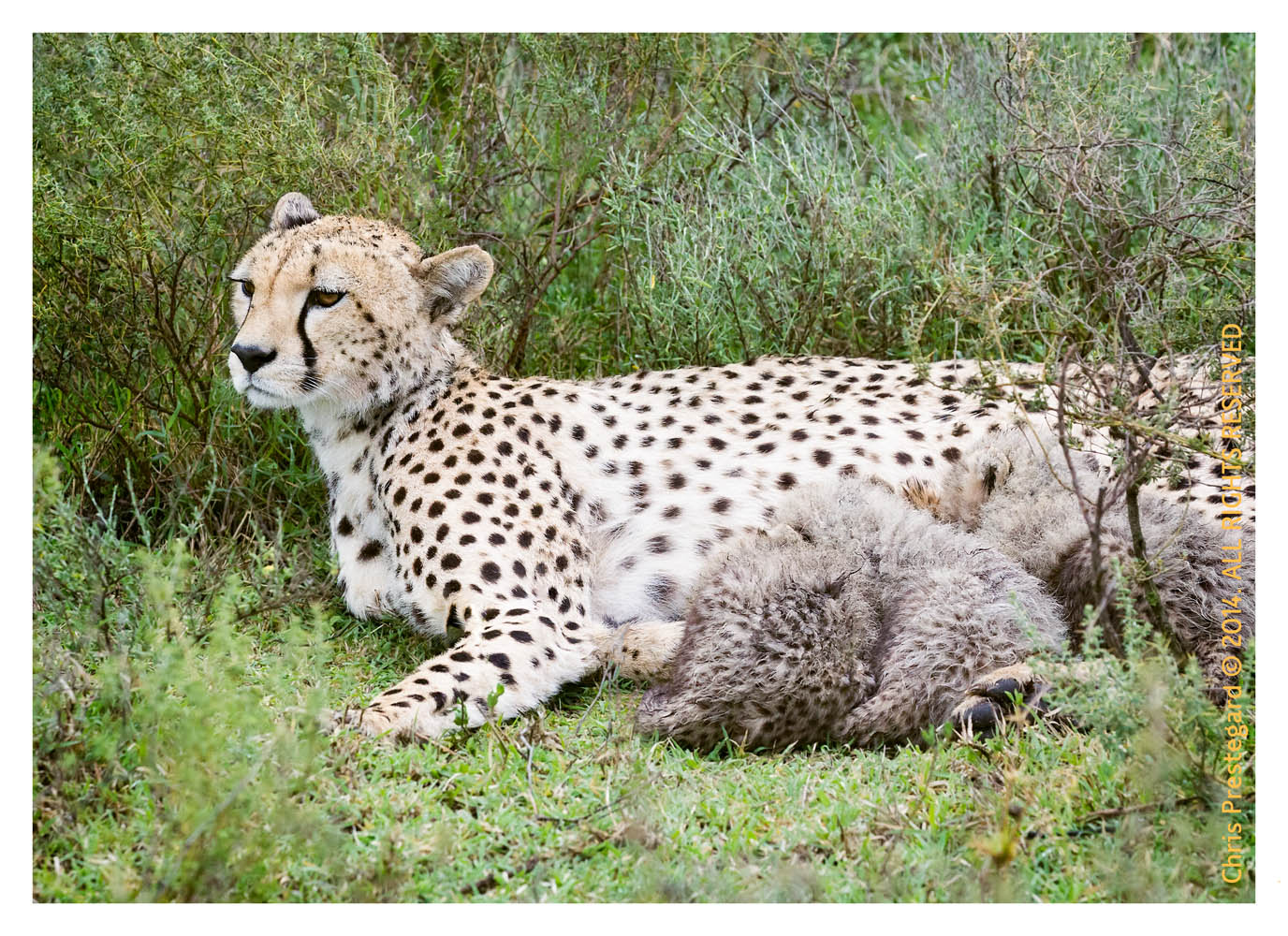 cheetah1981-Apr7-2014
