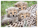 cheetah2105-Apr8-2014