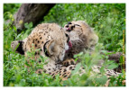 cheetah2106-Apr8-2014
