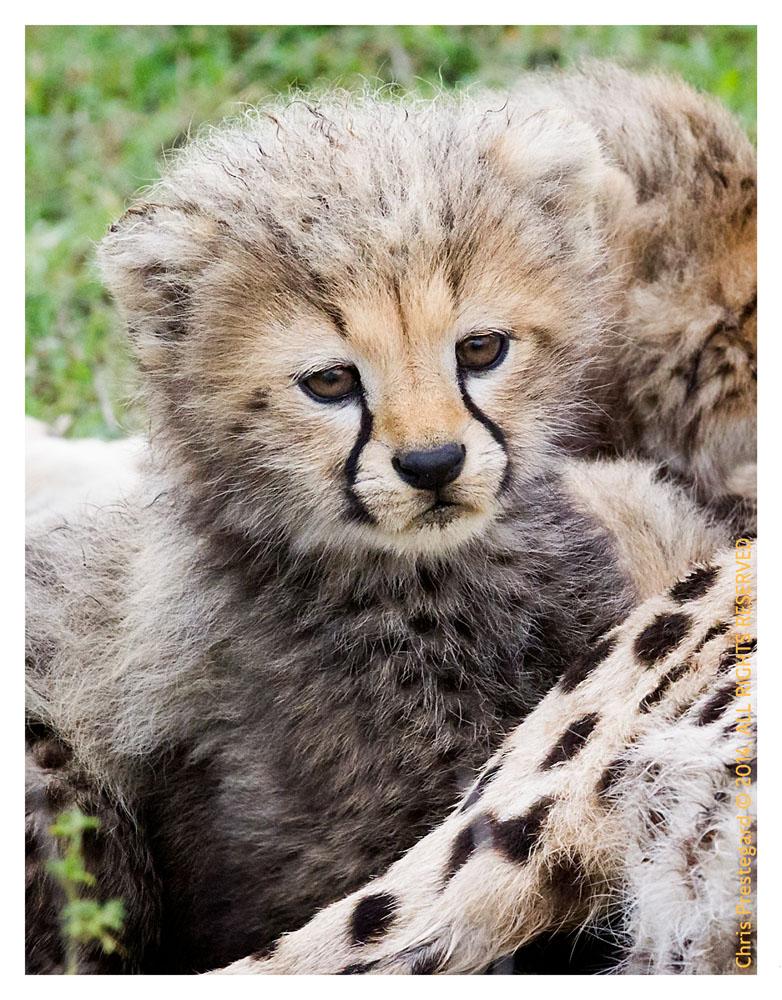 cheetah2119-Apr6-2014