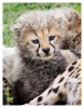 cheetah2119-Apr6-2014