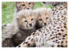 cheetah2136-Apr8-2014