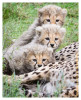 cheetah2168-Apr7-2014