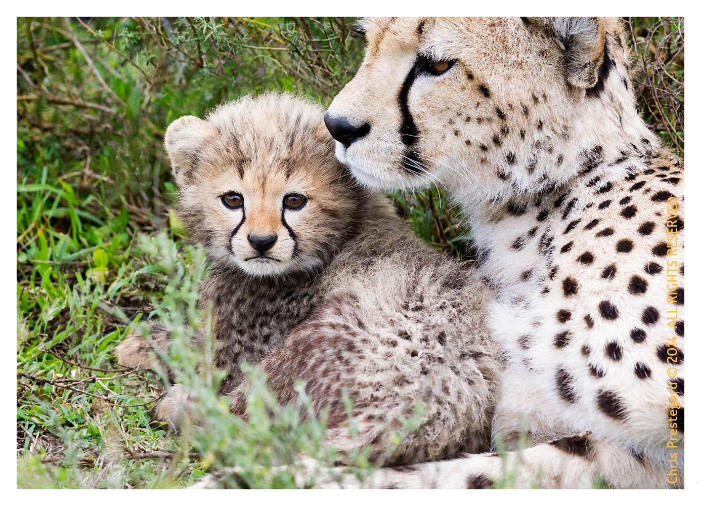 cheetah2414-Apr7-2014