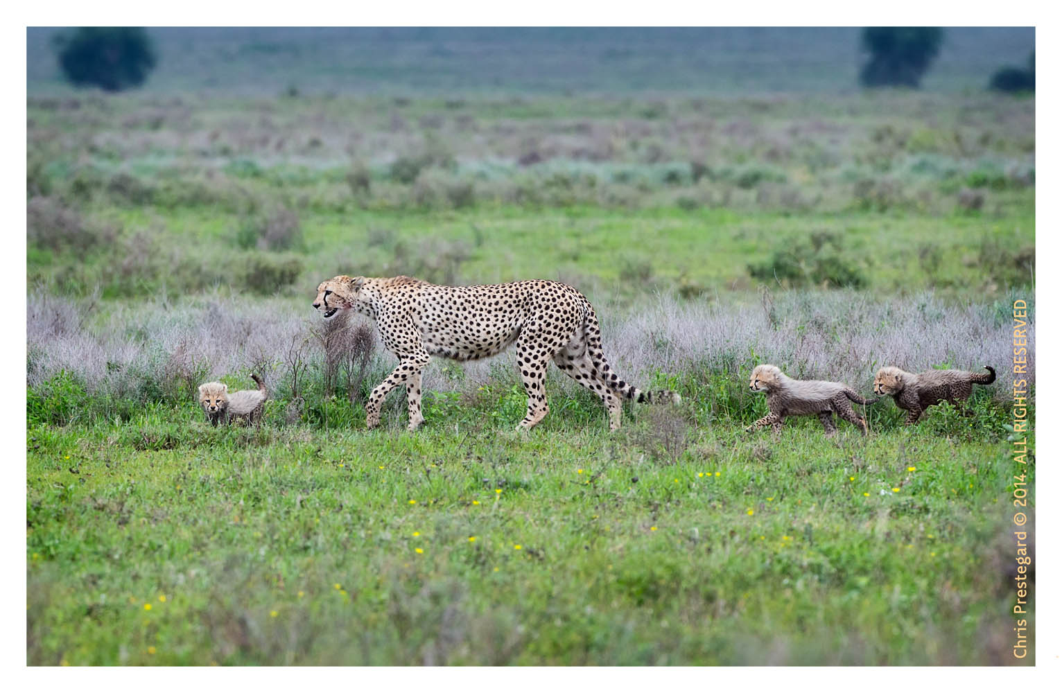 cheetah2416-Apr1-2014