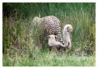 cheetah244-Ap410-2014