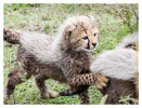 cheetah2549-Apr10-2014