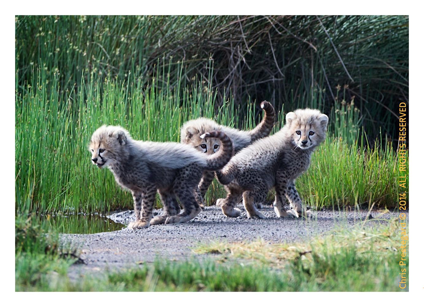 cheetah2600-Apr42014