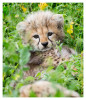 cheetah2601-Apr8-2014