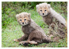 cheetah2645-Apr8-2014