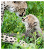 cheetah2685-Apr8-2014
