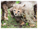 cheetah2693-Apr8-2014