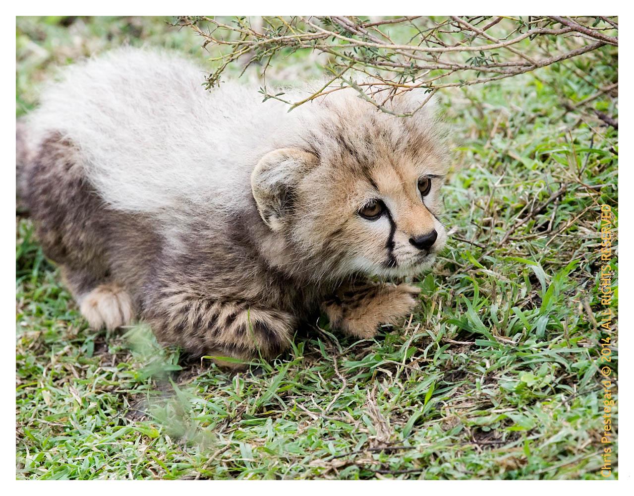 cheetah2815-Apr8-2014