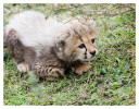 cheetah2815-Apr8-2014