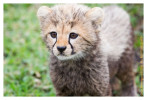 cheetah2832-Apr7-2014