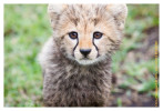 cheetah2850-Apr7-2014