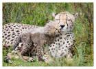 cheetah292-Apr10-2014