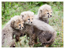 cheetah3008-Apr10-2014