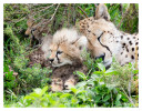 cheetah3142-Apr9-2014