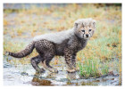 cheetah375-Apr12-2014
