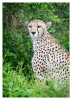 cheetah3992-Apr1-2014