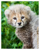 cheetah4897-Apr8-2014