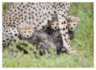 cheetah675-Apr6-2014