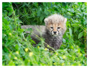 cheetah9075-Apr7-2014