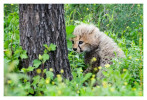 cheetah9228-Apr7-2014