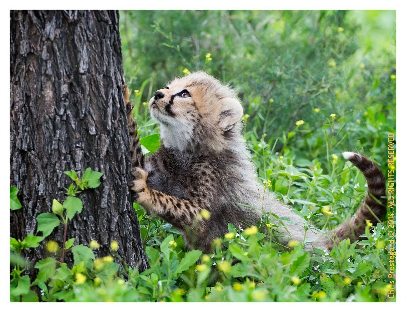 cheetah9237-Apr8-2014